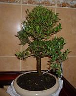 Дерево Бонсай Ilex, фото 1