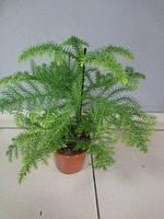 Горшечное растение Араукария (комнатная ель)