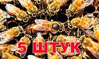 Матка Бакфаст (не плодная) - 5 пчеломаток