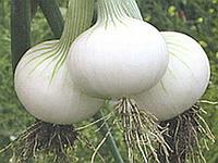 Лук белый озимый Хиело (Hielo) - Бейо Заден, уп. 250 000 семян (прецизионные)