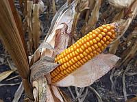 Семена гибрида кукурузы Сарта ФАО - 330