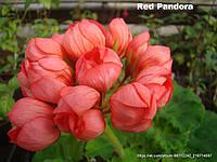 Red Pandora (31)