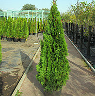 Вічнозелена Туя Смарагд Н - 1 м