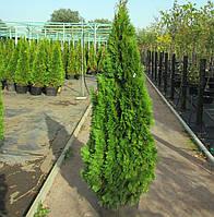Вічнозелена Туя Смарагд Н - 1-1,2 м