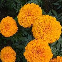 Бархатцы Эквинокс оранжевый 0,2 г (Hem Zaden) (перефасовано Vse-semena)