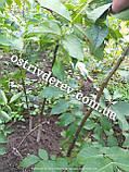 Саженцы грецкого ореха Идеал трехлетний, фото 2
