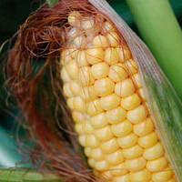 Семена кукурузы ДКС 2960 ФАО 250 Монсанто, Monsanto
