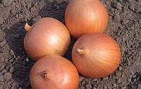 Лук репчатый САБРОСО F1 - Nunhems (Bayer CropScience), уп. 100 000 семян