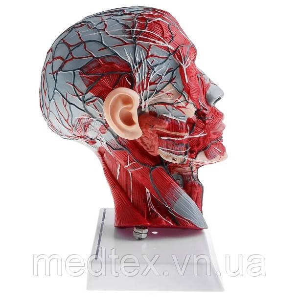 Сечение головы человека анатомическая модель