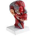 Сечение головы человека анатомическая модель, фото 2