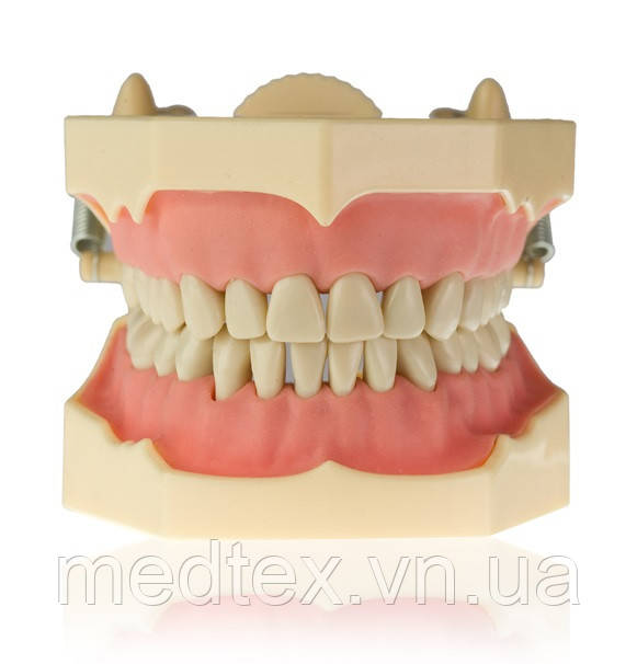 Модель тренировочная со съёмными зубами (нижняя и верхняя челюсть)
