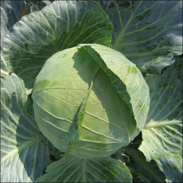 Весовые семена капусты белокачанной поздней Бирюза 100 г 30 000 семян, Германия