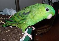 Попугаи - (Катеринки)