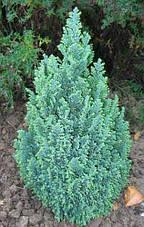Кипарисовик Лавсона Ellwoodii 4 річний, Кипарисовик Лавсона Элвуди, Chamaecyparis lawsoniana Ellwoodii, фото 2