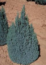 Кипарисовик Лавсона Ellwoodii 4 річний, Кипарисовик Лавсона Элвуди, Chamaecyparis lawsoniana Ellwoodii, фото 3