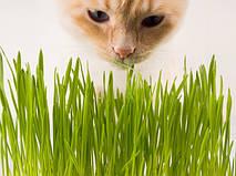 Чому кішки їдять траву?