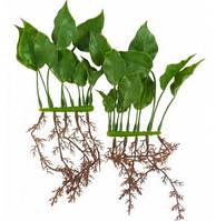 Аквариумное растение Hagen Marina Anubias 15см