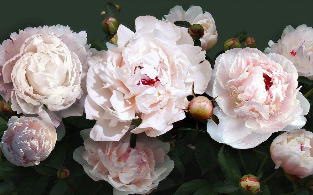 КДИ-0957 Набор алмазной вышивки Бело-розовые пионы