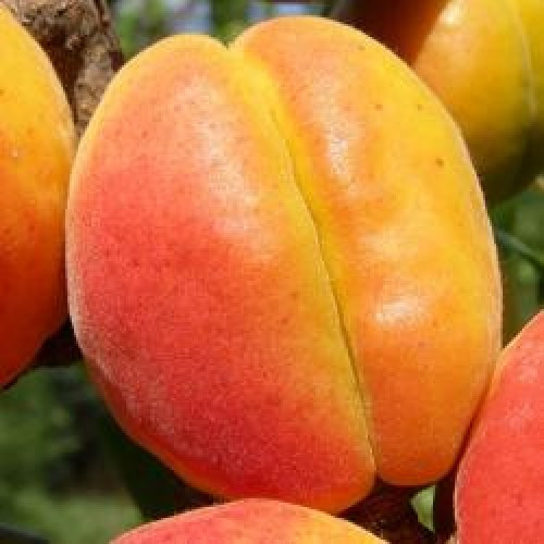 Саженцы абрикос Краснощекий (5и летка)