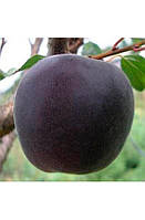 Саджанці абрикосу Шлор Циран (5и льотка)