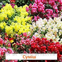 Антіррінум Снептіні F1 (колір на вибір) 100 шт (карликовий)