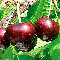 Саженцы черешня Крупноплодная среднепоздняя (однолетка)