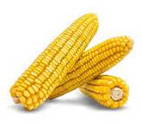 Насіння кукурудзи ДН ГАРАНТ (ФАО 200) 2фр. 2020 р. в. (Маїс Черкаси), фото 2