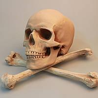 Модель черепа и 2 плечевые кости, в натуральную величину, для декораций, реквизит, декор
