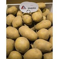 Семенной картофель Мадлен 1 репродукция 2,5 кг