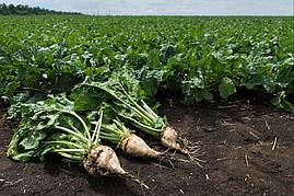 Семена сахарной свеклы Авторитетный устойчивый к глифосату дражованый
