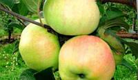 Саженцы яблоня Богатырь зимний (Однолетка)