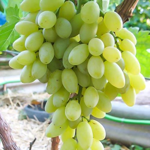 Виноград кишмыш Столетие