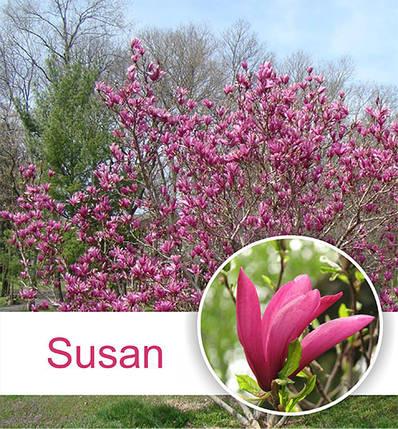 Магнолия 'Susan' (h 80-110), С3, фото 2