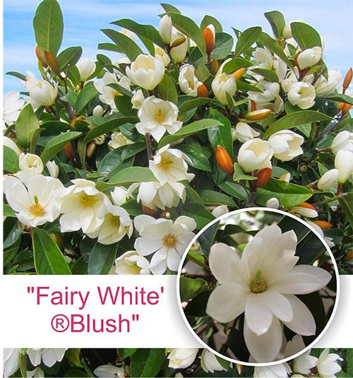 "Магнолия повторноцветущая ""Fairy White'®Blush"""