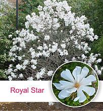 Магнолия звездчатая 'Royal Star', (h 80-110), C3