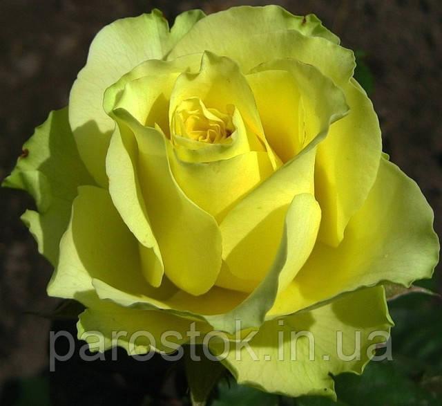 Роза Супер Грин. Чайно-гибридная роза.