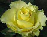 Роза Супер Грин. (с). Чайно-гибридная роза., фото 2
