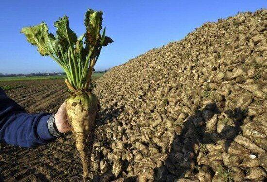 Семена сахарной  свеклы Гранис устойчивый к глифосату дражованный