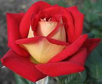 Роза Нью Фешин. Чайно-гибридная роза.