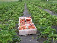 Как высаживать клубнику на черное агроволокно для мульчирования