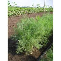 Семена Укропа Griffaton ДИЛЛ 0,5 кг.