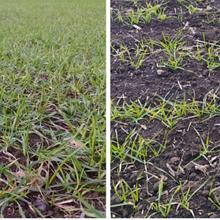 Особливості позакореневого підживлення озимих зернових навесні 2020 року!
