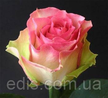 Роза Малибу(Maliby) чайно-гибридная