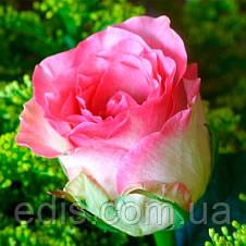 Роза Малибу(Maliby) чайно-гибридная, фото 3