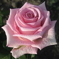 Роза Аква. (чайно-гибридная)