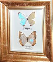 "Картина из бабочек ""Пара Морфо Сулковски"""