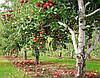 Использование препарата Свитч в садах косточковых культур