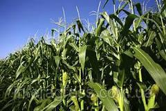 Лучшее решение для защиты кукурузы с первых дней до сбора урожая
