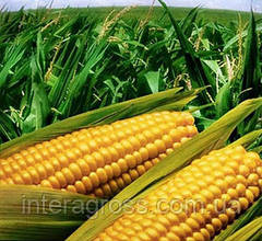 Милагро - современный страховой гербицид с широким периодом применения на кукурузе