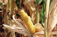 Эффект побеление кукурузы